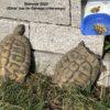 3 x Griechische Landschildkröten Testudo hermanni (2013)
