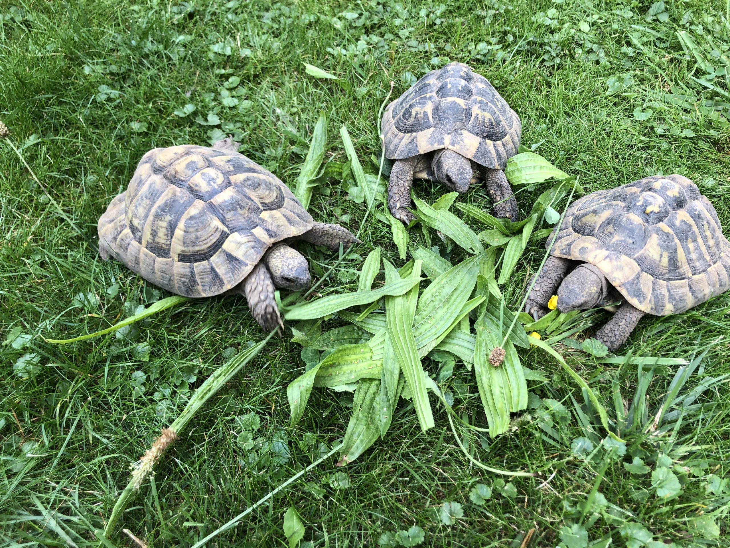 Mahlzeit ! Griechisches Landschildkröten Trio beim Mittagsessen im Garten