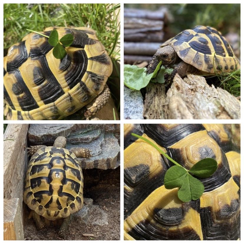 Paula unsere griechische Glücks-Landschildkröte