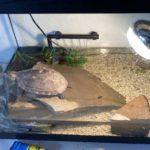 Chinesische Dreikielschildkröte