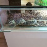 Landschildkröten Babys