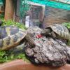 Griechische Landschildkröten THB NZ 2015