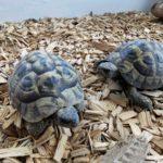 Griechische Landschildkröten von 2011 zu verkaufen