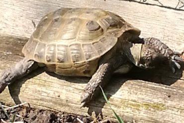 Vierzehenschildkröte entlaufen