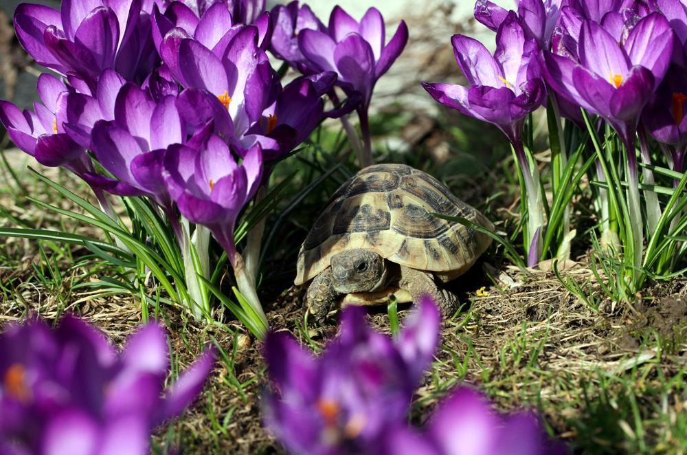 Griechische Landschildkröte im heimischen Garten