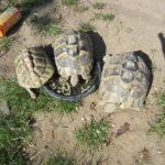 3 griechische Landschildkröten vermisst in Mainz - Oberstadt