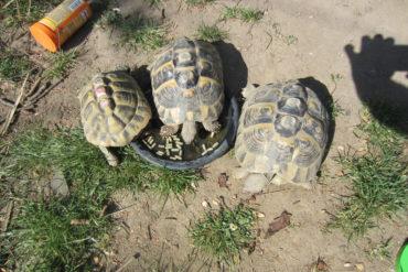 3 griechische Landschildkröten vermisst in Mainz – Oberstadt