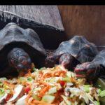 Köhlerschildkröten zu verkaufen