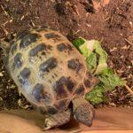 Russische Vierzehenlandschildkröte zu verkaufen