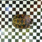 Strahlenschildkröten NZ aus 20
