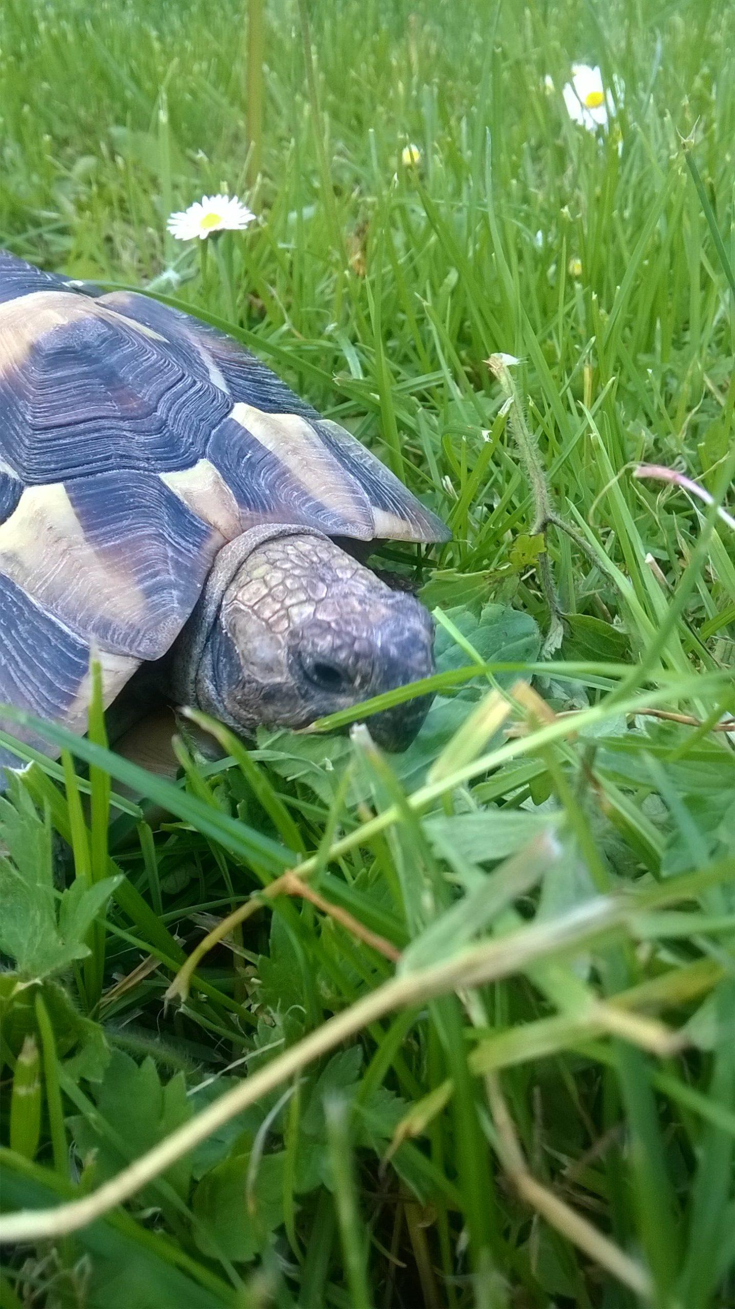 Griechische Landschildkröte im Freigehege