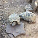 """2 adulte Männliche Landschildkröten """"Testudo hermanni"""""""