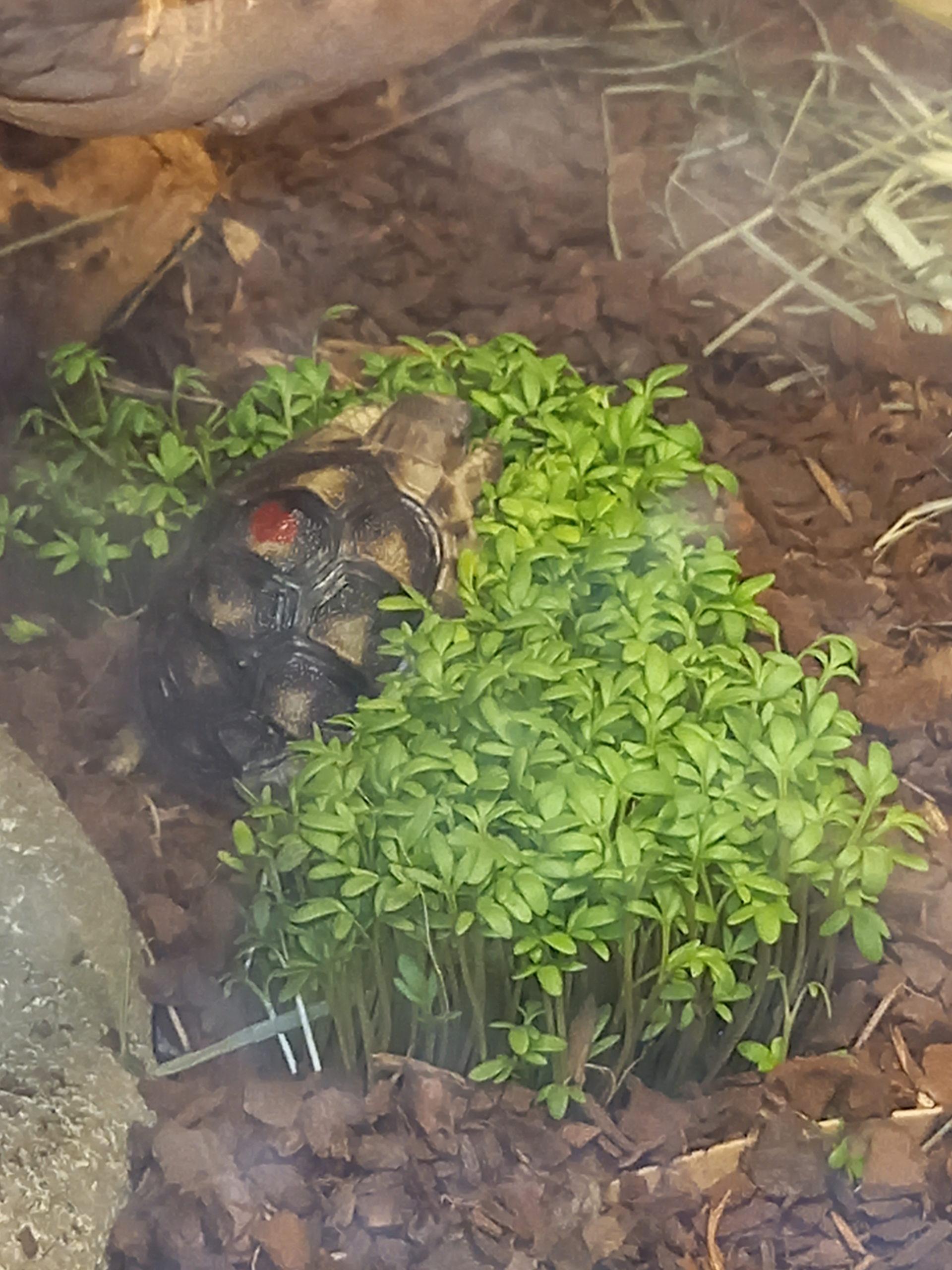 Hallo ich bin Schildi eine Breitrandschildkröte