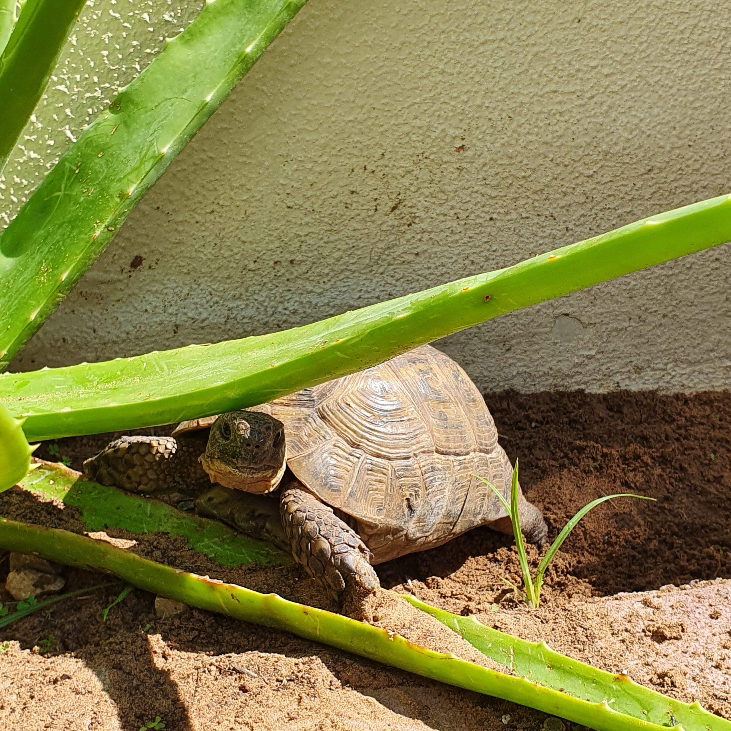 """Griechische Landschildkröte """"Arnie"""" genießt die Sonne"""