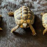 3 griechische Landschildkröten mit Papiere zu verkaufen