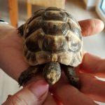 Europäische Landschildkröten Nachzuchten