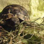 Griechische Landschildkröte/n Nachzuchten von August 2020 zu verkaufen