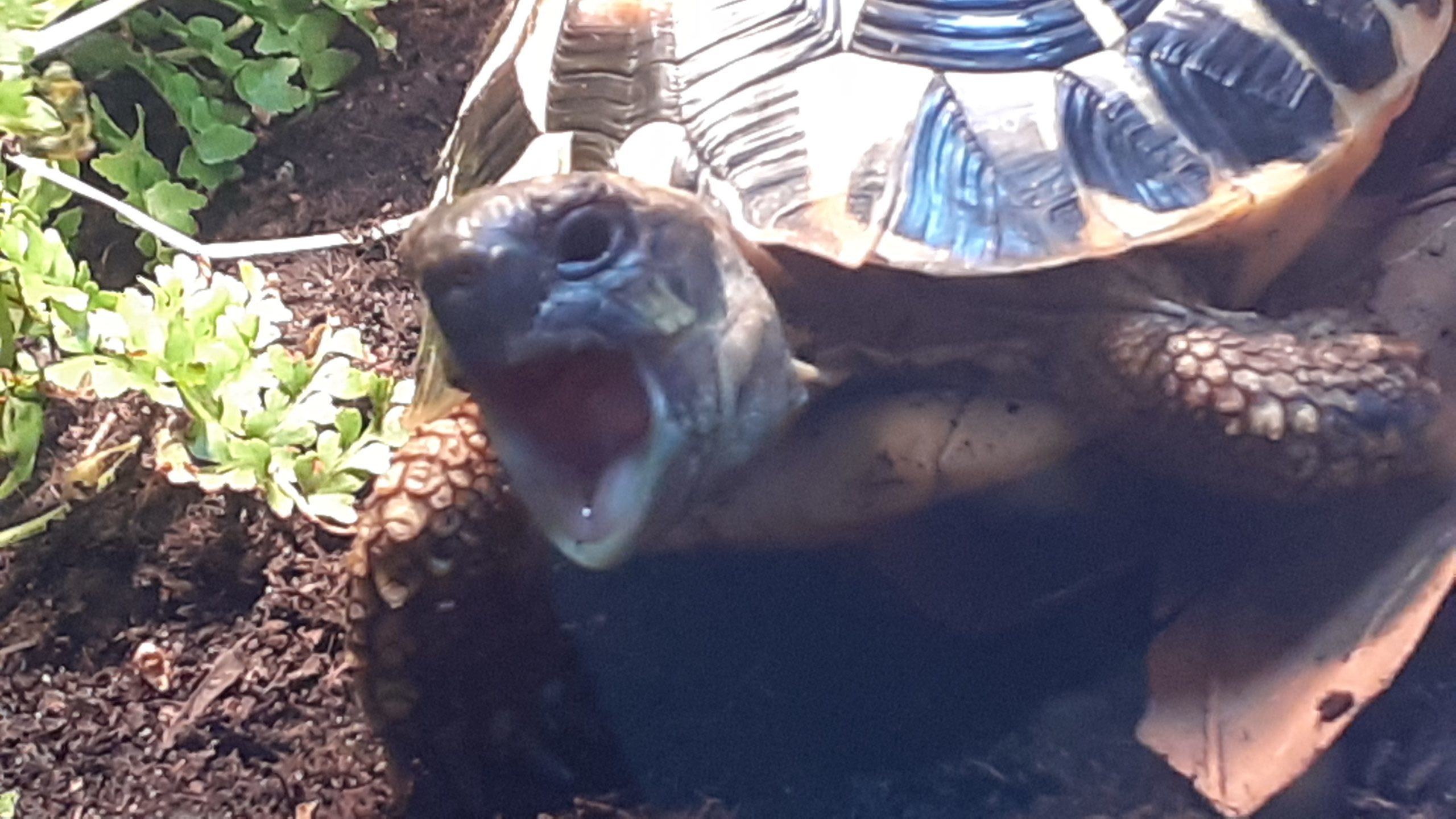 Griechische Landschildkröte sweety
