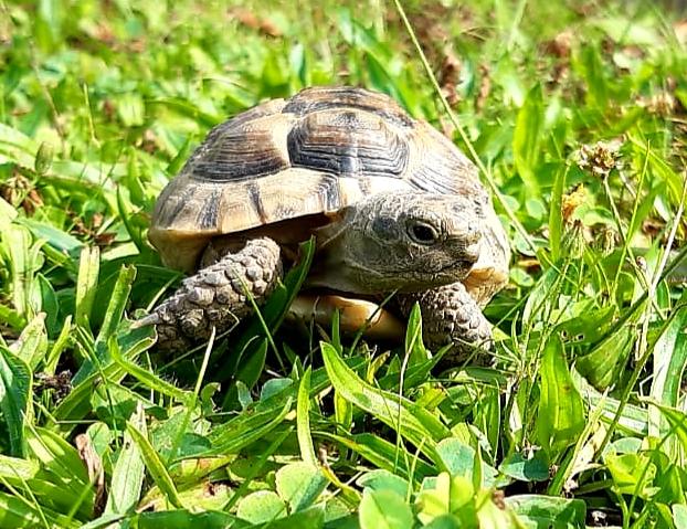 Ich bin Little Tim eine Maurische Landschildkröte