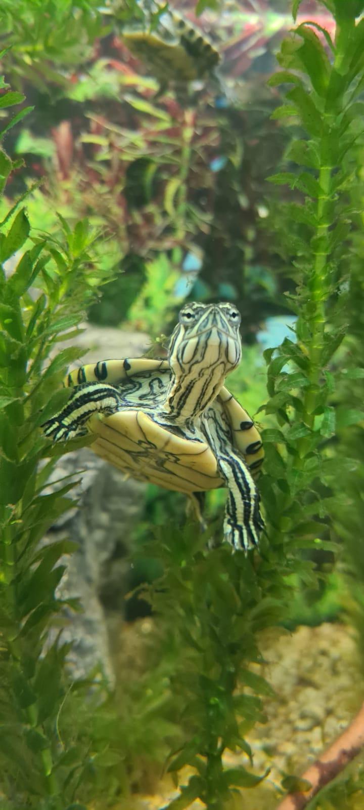 Mittelamerikanische Schmuckschildkröte im Aquarium