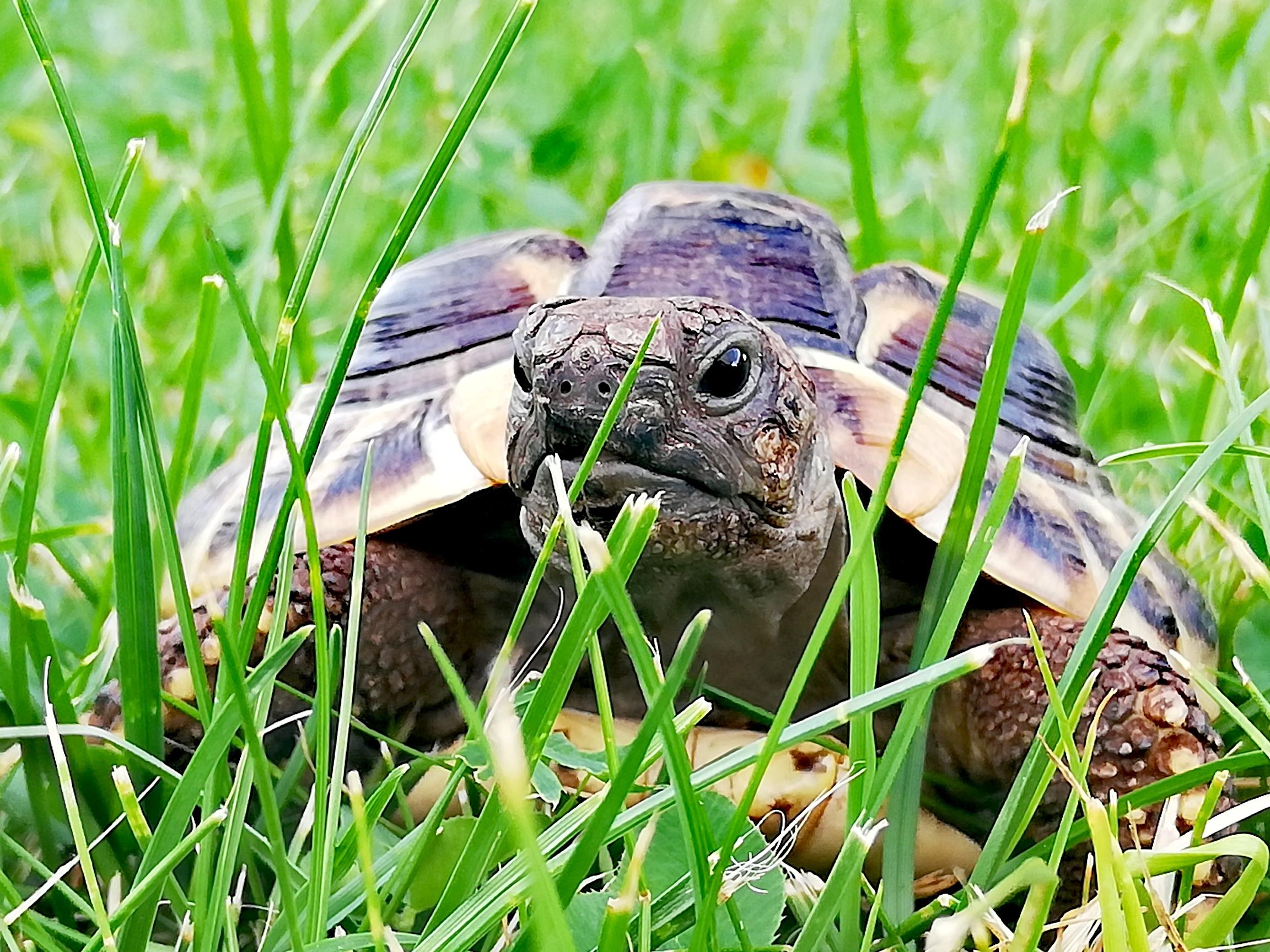 """Griechische Landschildkröte """"Schnitzel"""" beim """"Chillen"""" im Garten"""