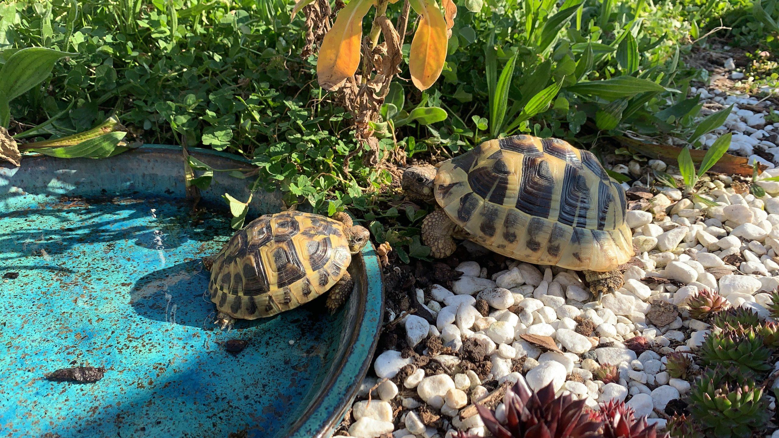 Sonnenbad (Griechische Landschildkröte)