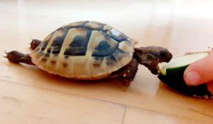 Raubtierfütterung ausnahmsweise mal drinnen :-) (Griechische Landschildkröte)