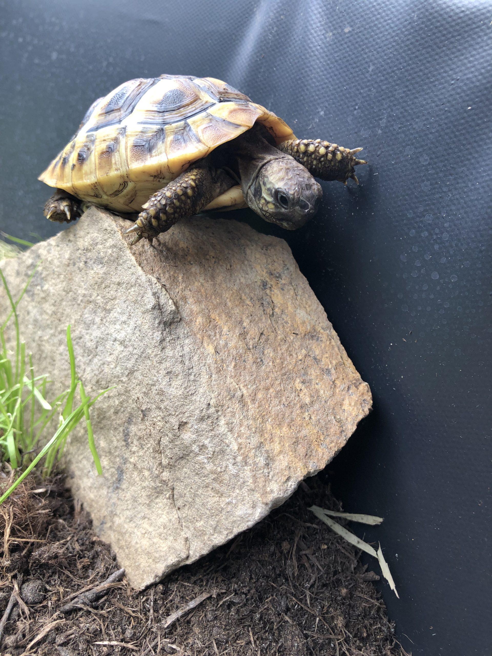 Griechische Landschildkröte auf ihrem Lieblingsstein