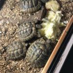 Verkaufe Griechische Landschildkröten