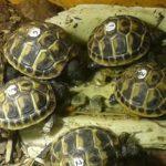 Griechische Landschildkröten NZ 2020/weiblich zu verkaufen