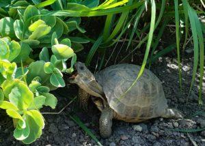 Griechische Landschildkröte im Freigehege beim Naschen