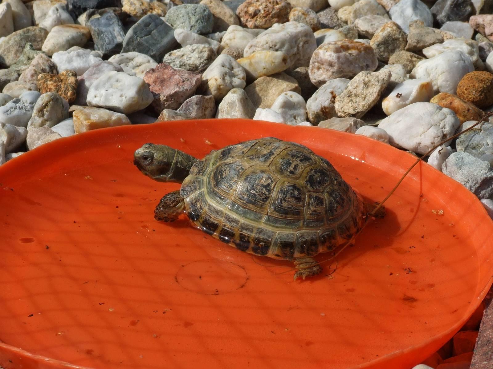 Griechische Landschildkröte Olga badet sehr gerne