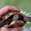2 Griechische Landschildkröten aus 2014 zu verkaufen