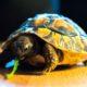 Griechische Landschildkröte Kuculu liebt Löwenzahn