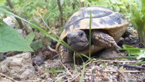 Auf Wanderschaft 4 jährige griechische Landschildkröte