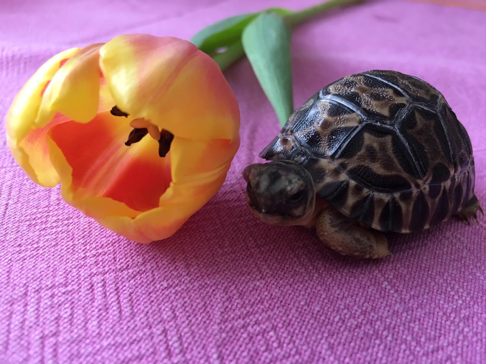 Junge Strahlenschildkröte/Asterochelys Radiata .... bin doch schöner als die Tulpe