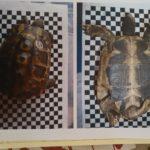 Griechische Landschildkröte NZ 2015 zu verkaufen