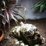 Sternschildkröten, indisch