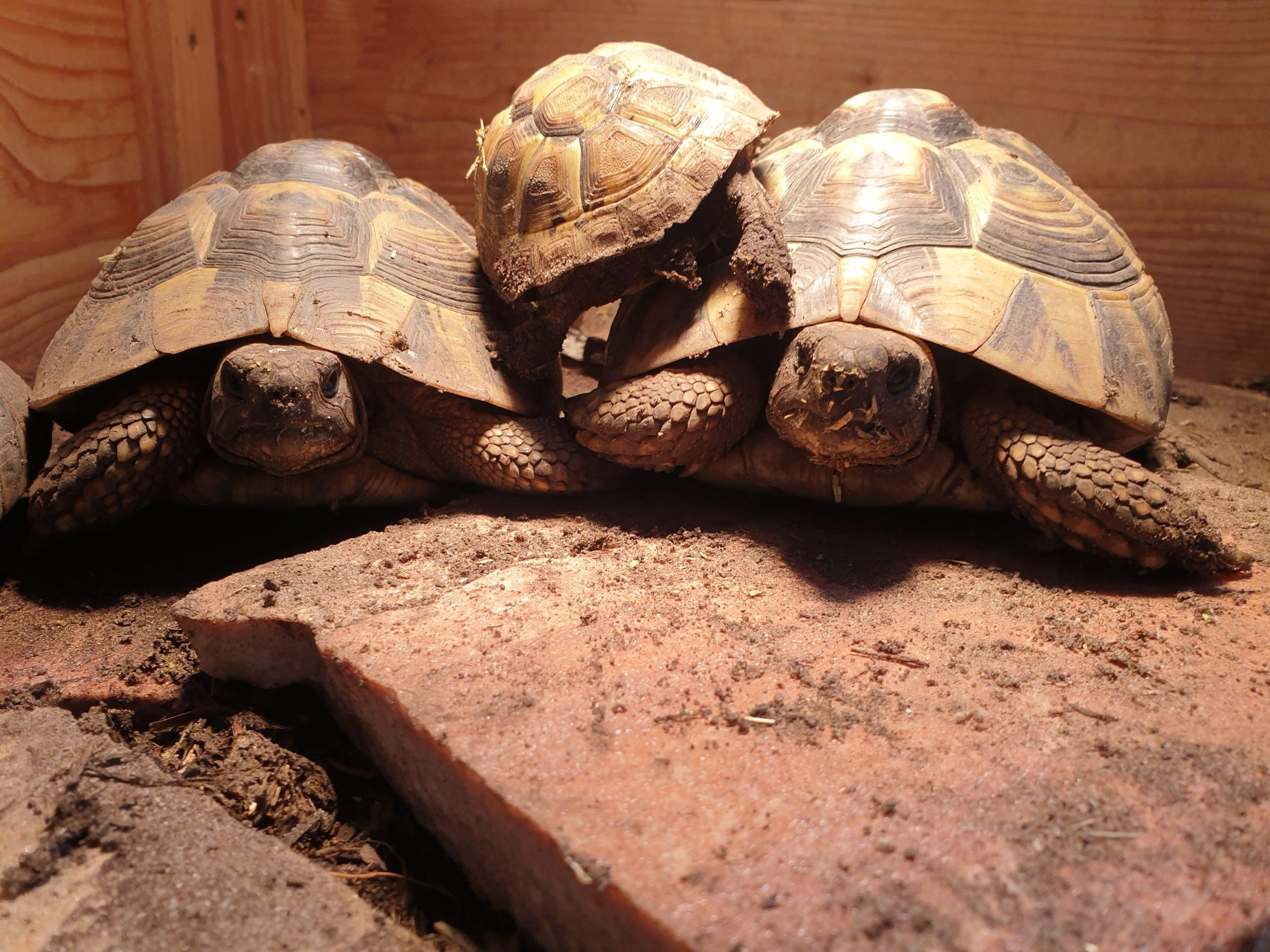 Griechische Landschildkröten im Schutzhaus