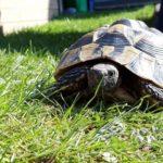 3 Griechische Landschildkröten zu verkaufen