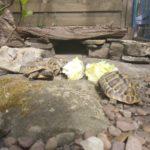 Griech. Landschildkröten Gruppe adult 5 Tiere