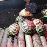 Griechische Landschildkröten paarweise zu verkaufen