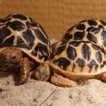 Indische Sternschildkröten NZ 2020 zu verkaufen