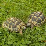 Landschildkröte hat sich vor dem Winter im Garten eingegraben