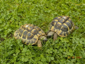 Griechische Landschildkröten Picasso und Theodor draußen beim fressen