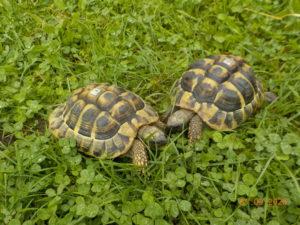 Griechische Landschildkröten draußen beim fressen