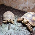 2 Spornschildkröten 08/18 suchen liebevolles Zuhause