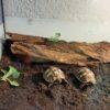 2 griechische Landschildkröten NZ 2020 zu verkaufen
