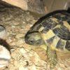 3 Griechische Landschildkröten (geb. 08.17) zu verkaufen
