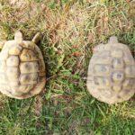 4 Griechische Landschildkröten zu verkaufen